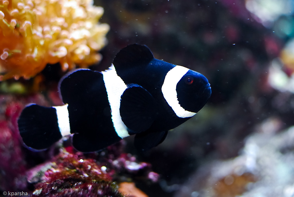 Black clown fish amphiprion ocellaris kparsha flickr for Clown fish for sale