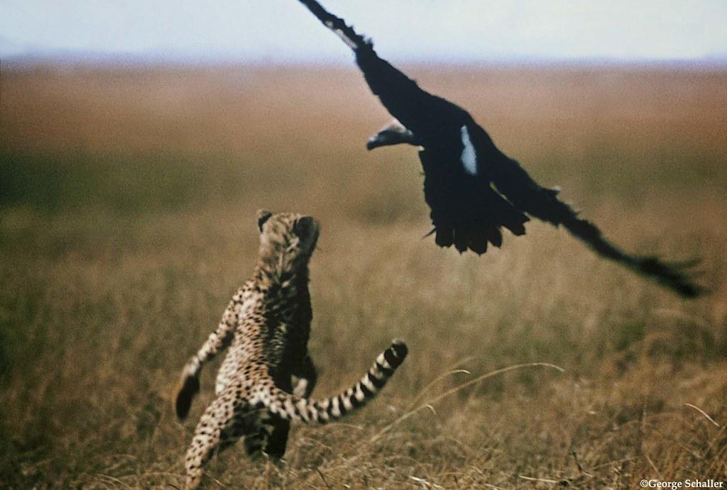 Cheetah Versus Vulture This Photo Was Taken By Panthera