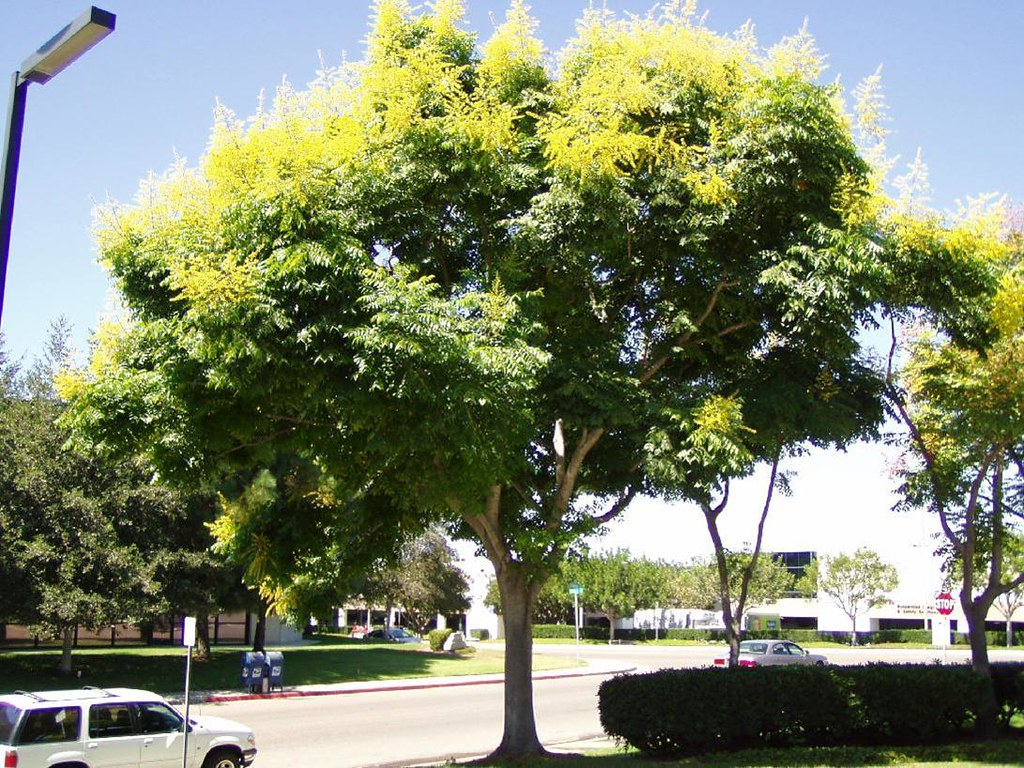 Koelreuteria bipinnata | Chinese Flame Tree | Santa Monica Urban ...
