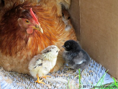 Mama hen and her two day old chicks 1 | by Farmgirl Susan