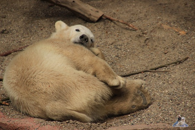 Eisbär Fiete im Zoo Rostock 14.06.2015  121