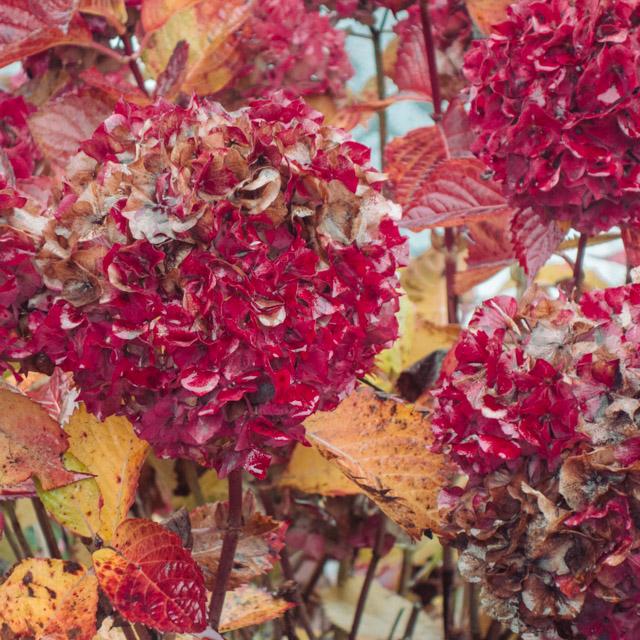 pinky red hydrangea