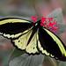 Upperside Common Green Birdwing