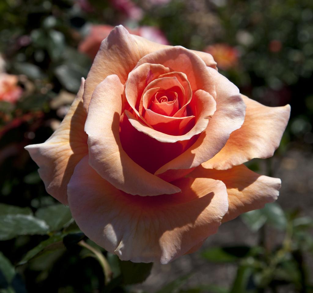 Mooning Over New Missoni: Hybrid Tea Rose - Over The Moon