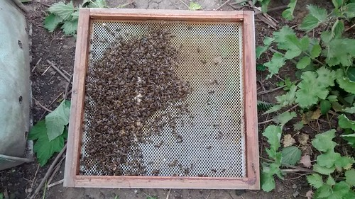 dead bees May 15 1