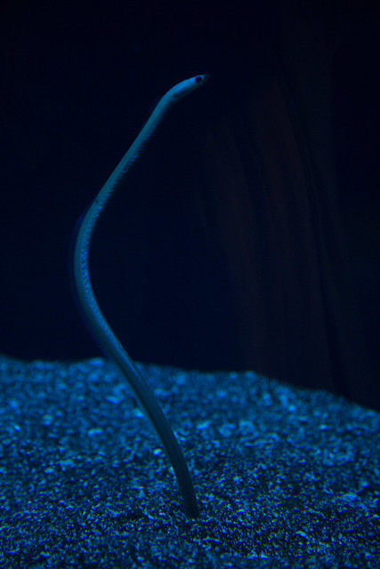Garden Eel waiting for Drifting Plankton at Maui Ocean Center