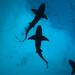 Lemon sharks & rain