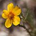 Mentzelia gracilenta (Blazing Star)