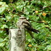 Nightjar, dozing on a post...