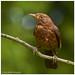 Blackbird - female - Turdus merula