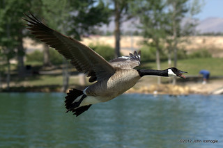 Canada Goose Mid-Flight/Honk | by J Ice Photos