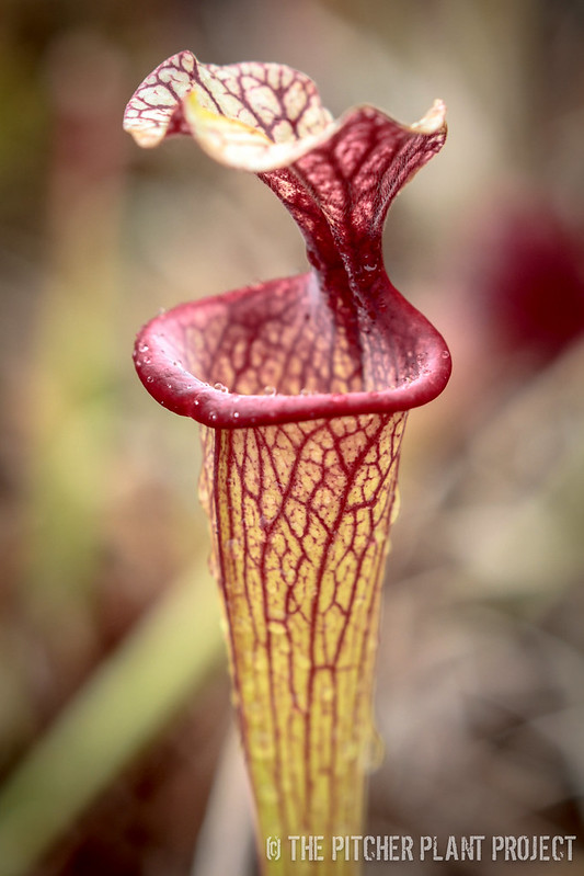 "Sarracenia moorei ""John David King"" x (leucophylla ""Purple Lips"" x flava var. cuprea)"