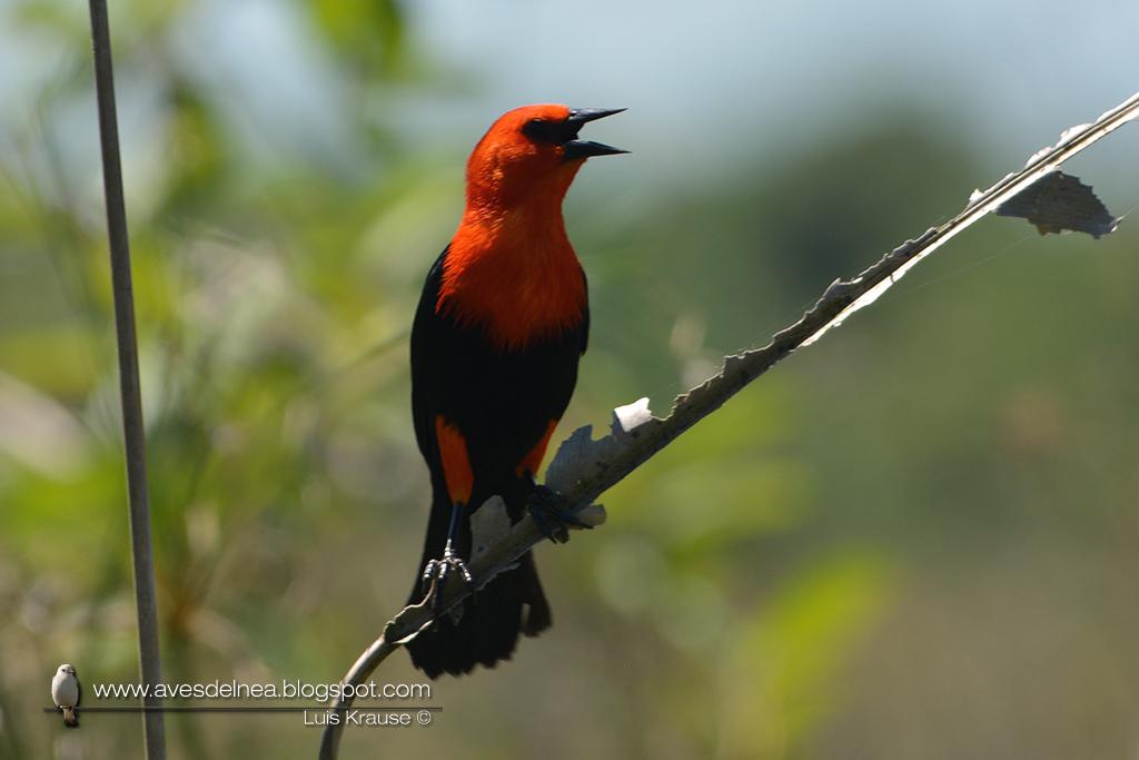 Federal (Scarlet-headed Blackbird) Amblyramphus holosericeus