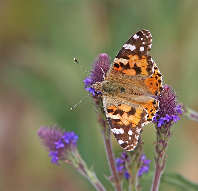 Butterfly 20d_6837