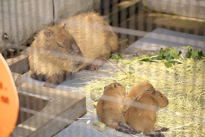 あらかわ遊園のカピバラ一家 capybaras at arakawa yuen