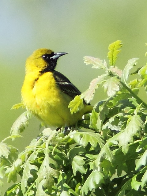 Orchard Oriole male 1st year 2-20150521