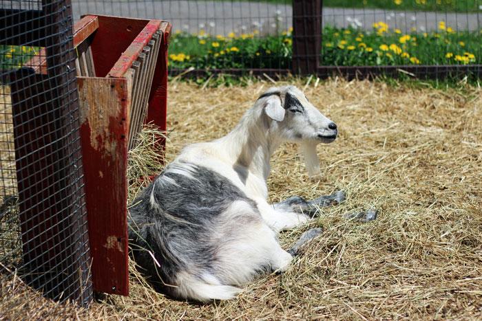 12_vergers-lafrance-animaux-ferme-chevre