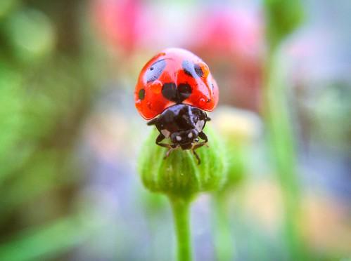 Ladybug with black heart