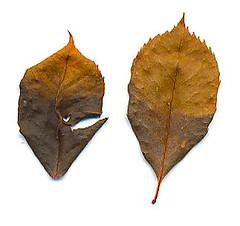 amido nelle foglie