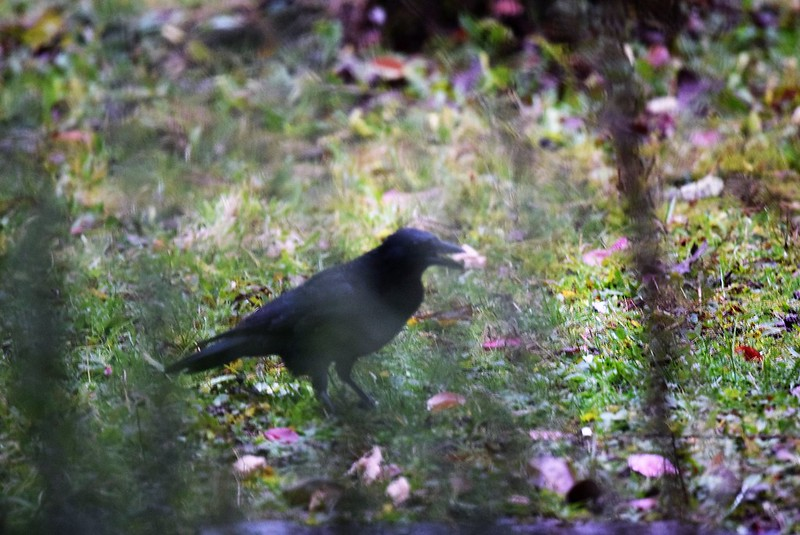 Crow 18.11 (2)