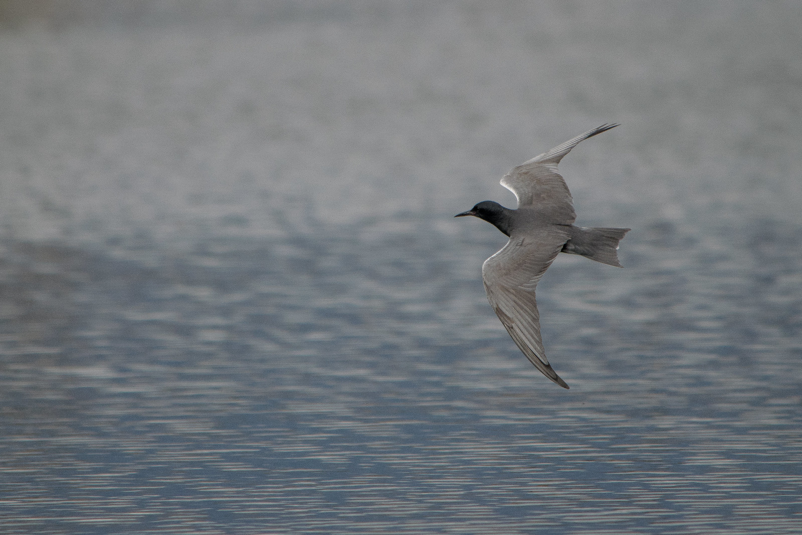 Black Tern | by Jon David Nelson