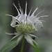 White Bergamot - Monarda clinopodia