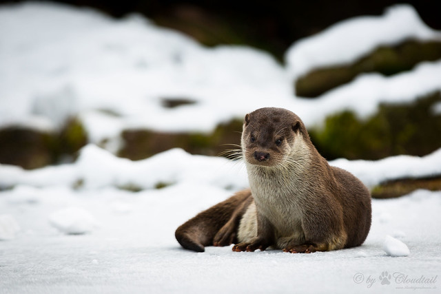 A little otter sits on the snow, looking a touch droopy and sad.