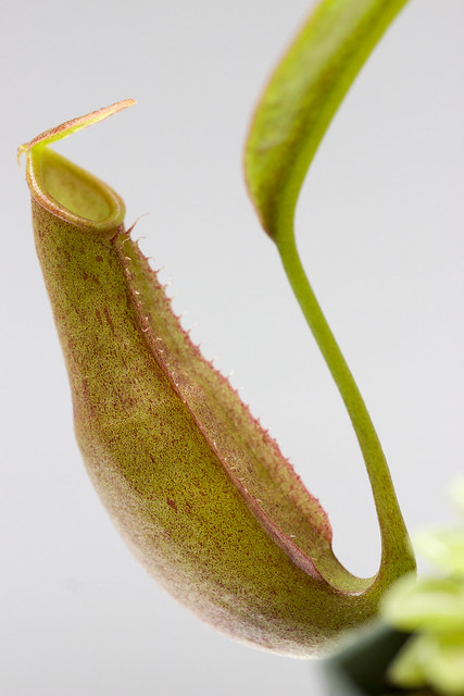 Nepenthes reinwardtiana Red Flush BE