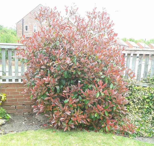 Photinia, Red Robin: Before pruning