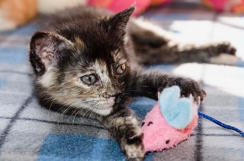 Eclipse, gatita carey dulcísima de cara bicolor espectacular nacida en Octubre´16, en adopción. Valencia. ADOPTADA. 30562499293_39e497f47d