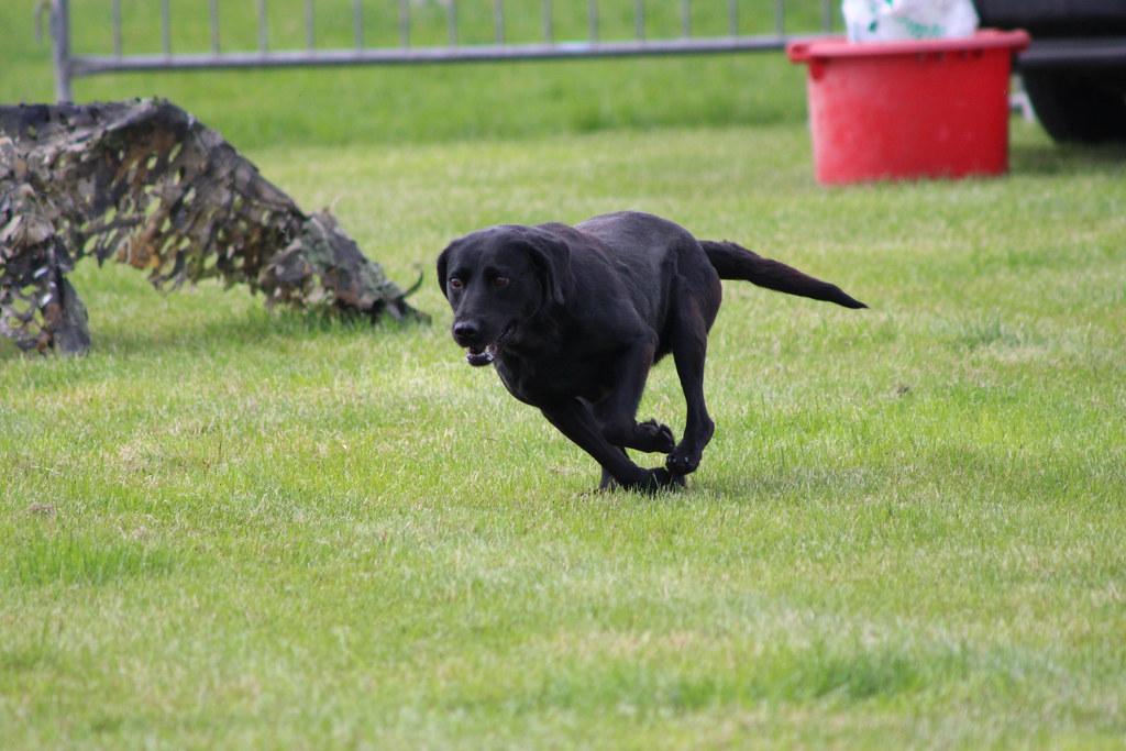 Labrador Gun Dogs For Sale In Ireland