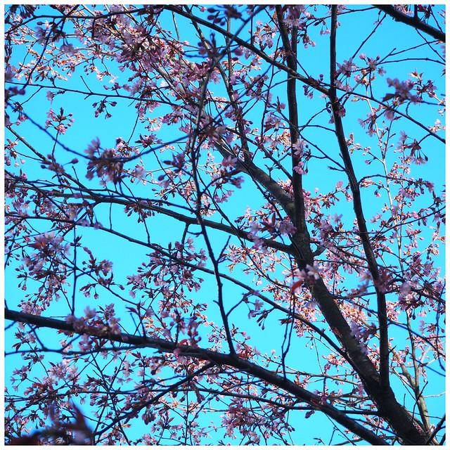 kirsikankukka1, kirsikkapuisto, roihuvuori,helsinki, visit helsinki, tip helsinki, japanese style garden, cherry park, kirsikkapuisto, japanilaistyylinen puutarha, hanami, sakura, kirsikankukat, cherry blossom, vinkit, kukat, luonto, pinkki, vaaleanpunainen, kaunis, puutarha, puisto, itä-helsinki, japani, kukat,