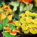 Origami Flower Garden. Calceolaria