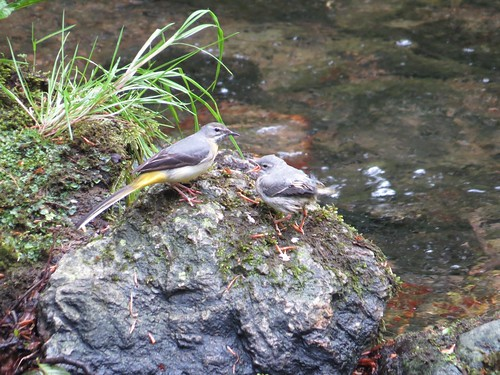 531 Grey Wagtail feeding fledgling