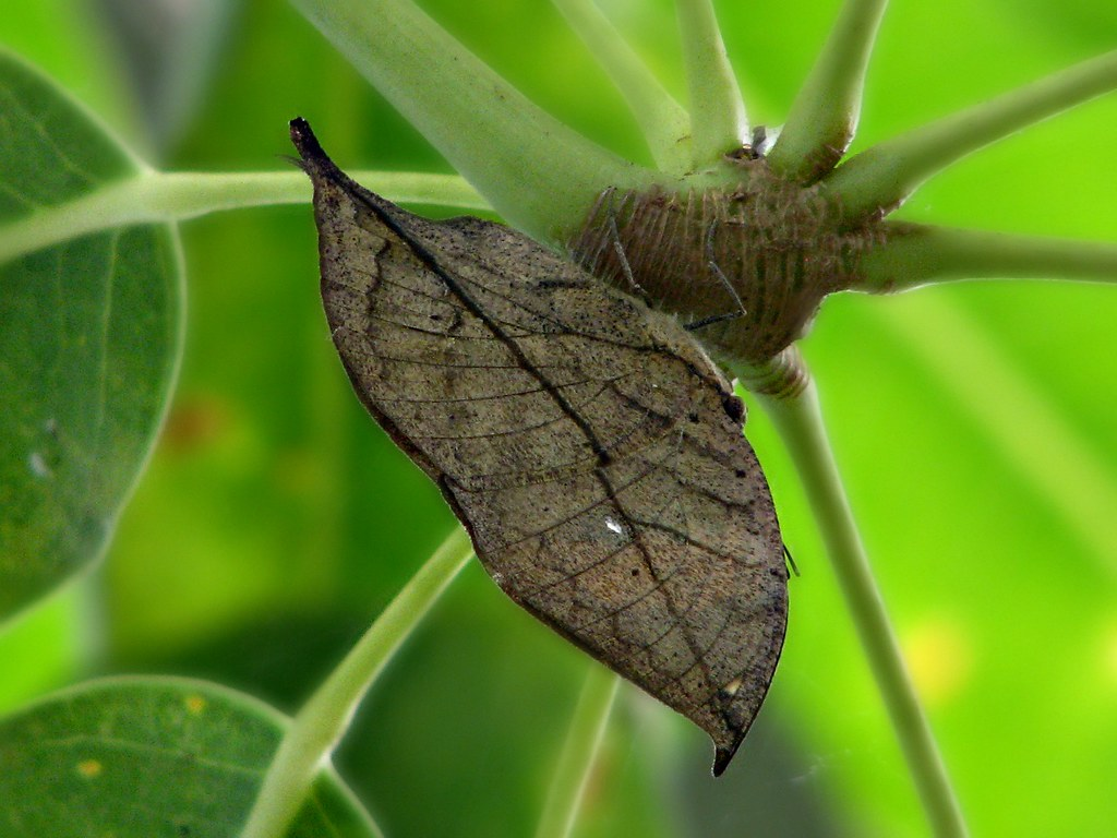 Camouflage, butterfly style. | Tenerife. Icod, the ...