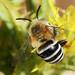 Abelha // White-banded Digger Bee (Amegilla quadrifasciata)