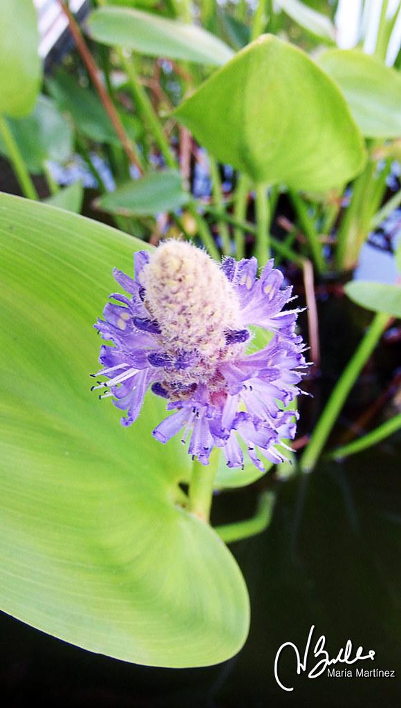 Plantas acu ticas en el estanque de los peces r as for Plantas para estanques de peces