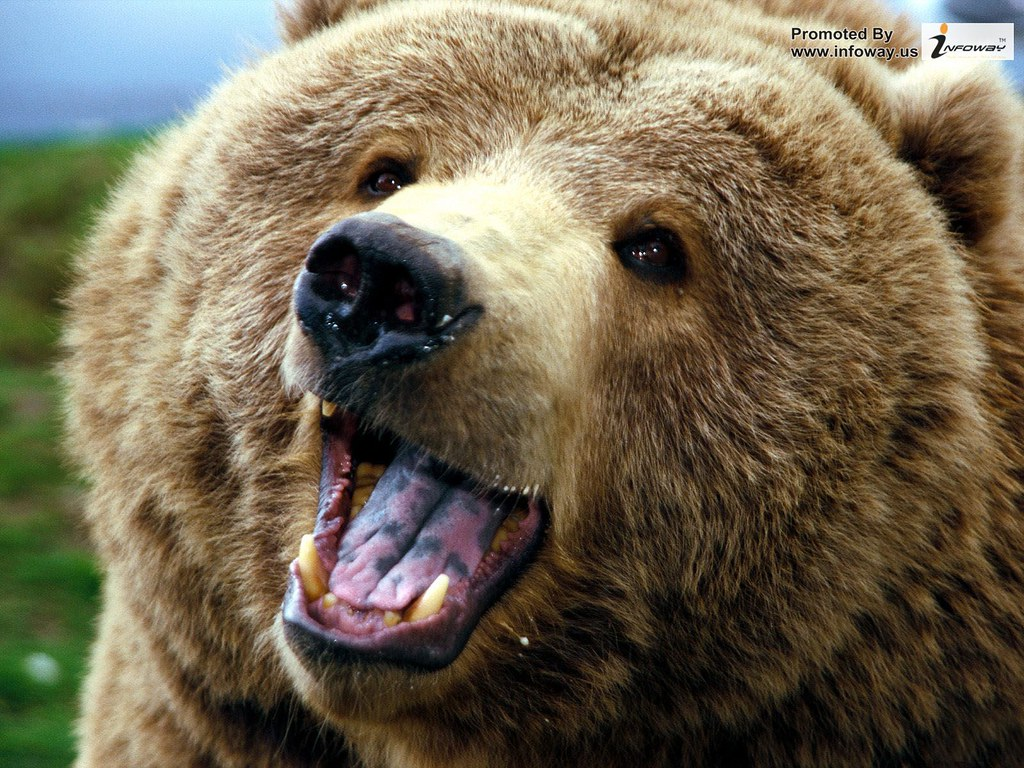 grizzly bear angry forest animals | grizzly bear angry ...