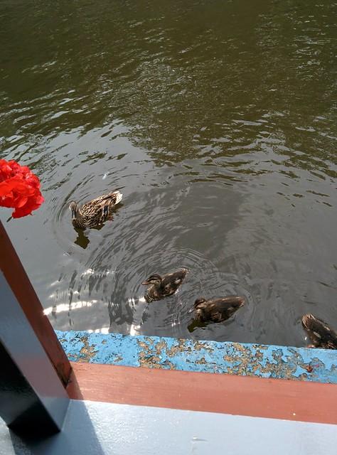 Under attack by ducks!
