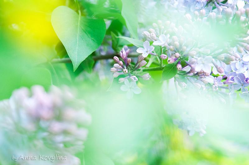 spring flowers lilacs blossom by Anna Kovylina
