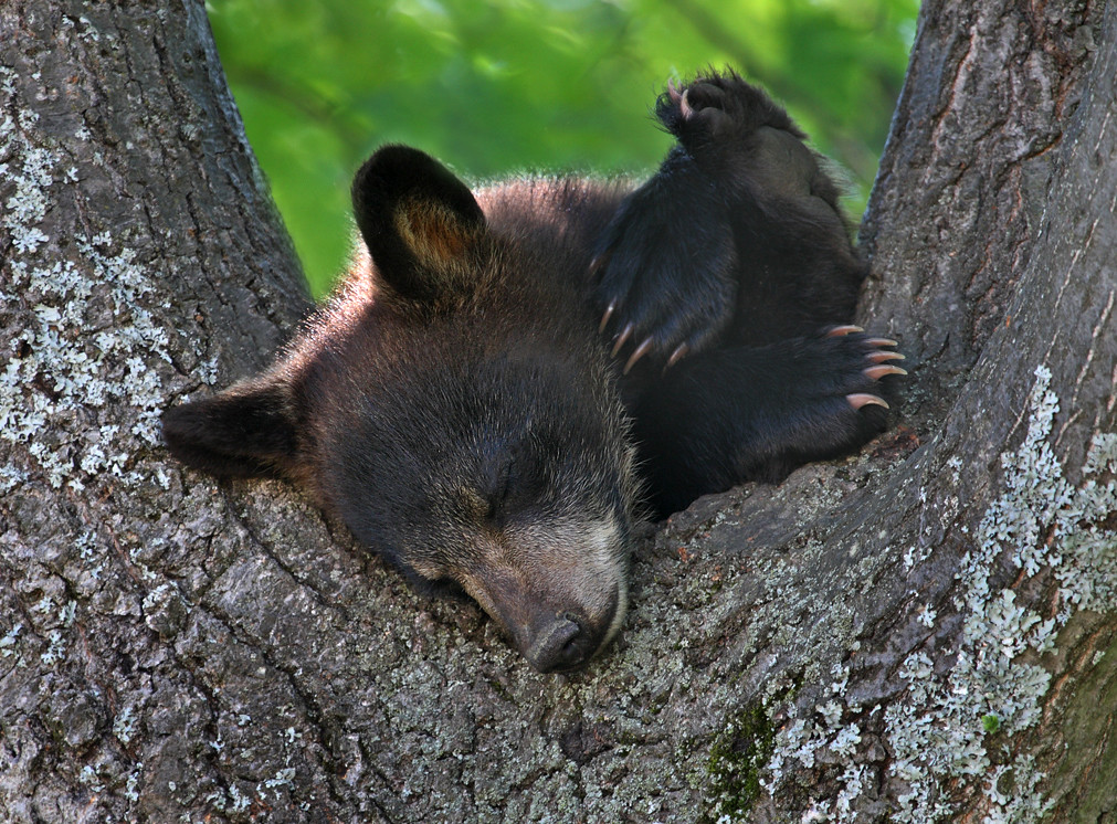 Image result for sleeping bear cub