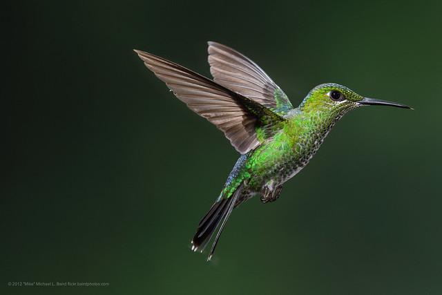 Green Crowned Brilliant Heliodoxa Jacula Hummingbird Flickr Photo Sharing