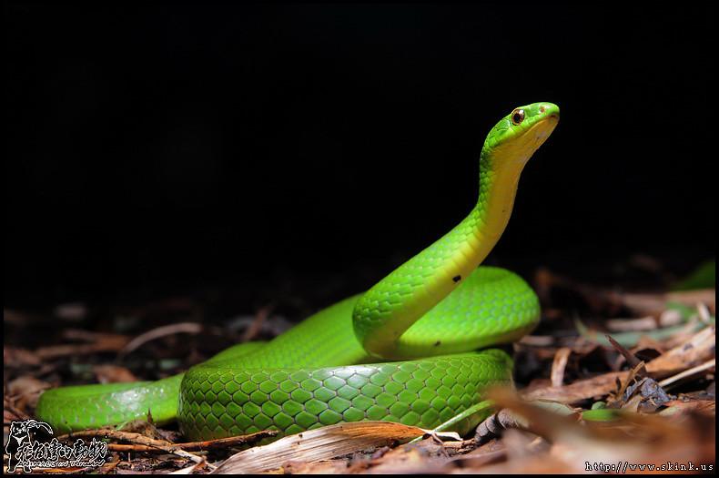 青蛇。圖片來源:Flicker。擁有者:Skink Chen。CC BY-NC-ND 2.0