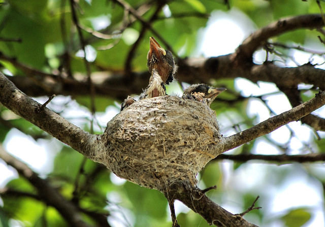 Baby Bird Flying From Nest