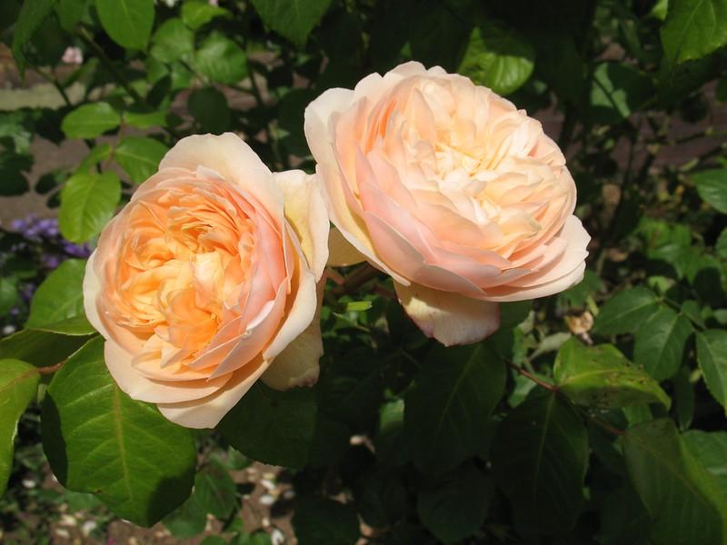 Роза 'Sweet Juliet', фото фотография красивые цветы