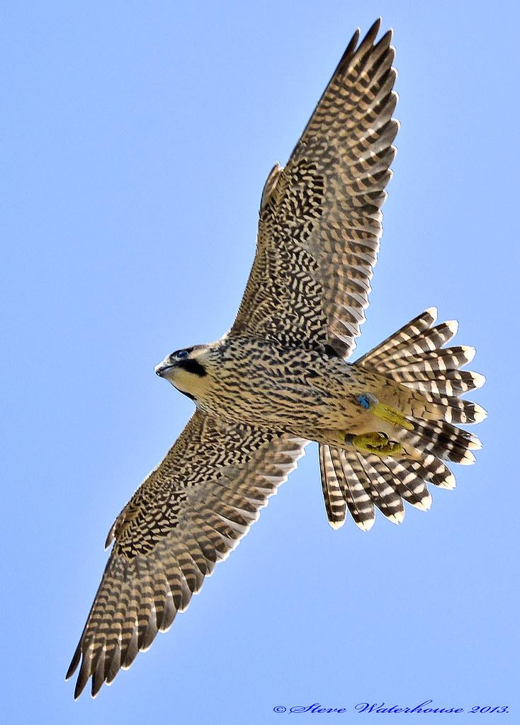 Peregrine Falcon Wingspan Juvenile Peregrine Falcon