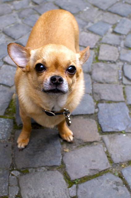 chubby chihuahua chubby chihuahua brussels flickr photo sharing 1565