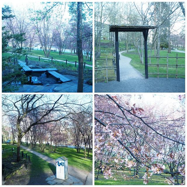 kirsikanpuistokukkaroihuvuori5, kirsikankukka1, kirsikkapuisto, roihuvuori,helsinki, visit helsinki, tip helsinki, japanese style garden, cherry park, kirsikkapuisto, japanilaistyylinen puutarha, hanami, sakura, kirsikankukat, cherry blossom, vinkit, kukat, luonto, pinkki, vaaleanpunainen, kaunis, puutarha, puisto, itä-helsinki, japani, kukat,