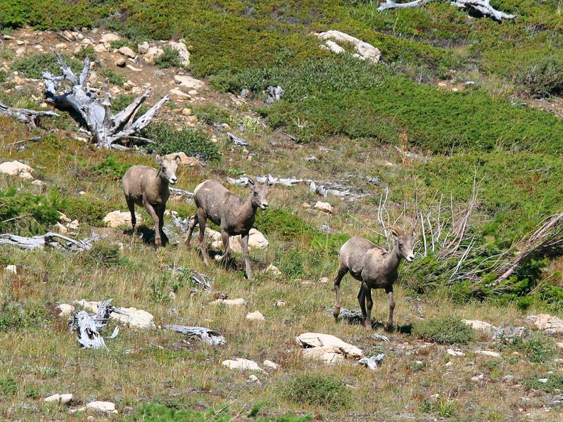 IMG_5749 Bighorn Sheep on Firebrand Pass Trail