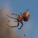 Spider (Genus Larinioides)